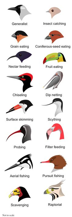 Science: Zoology- Birds- beak shapes for different types of feeding. Teaching Science, Life Science, Science And Nature, Preschool Science, Mystery Science, Teaching Ideas, Science Diy, Teaching Methods, Animal Adaptations