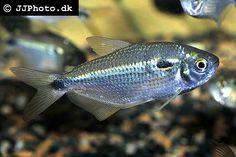 astyanax_bimaculatus / http://www.aquariumphoto.dk/index.html