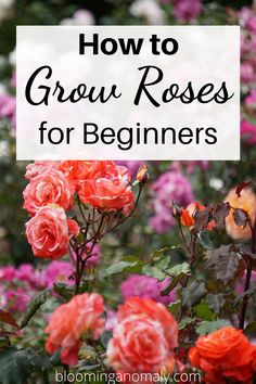 Roses make a great addition to any summer garden. You can grow roses in pot and in containers on your porch or patio. Learn more about how to grow roses for beginners reading this post! #howtogrowroses #roses #growroses #redroses Beautiful Flowers Garden, Amazing Flowers, Gardening For Beginners, Gardening Tips, Floribunda Roses, Flora Farms, Rose Care, Types Of Roses, Growing Roses