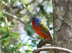 Painted Bunting in South Carolina