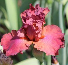 TB Iris germanica 'Popstar' (Blyth, 2003)