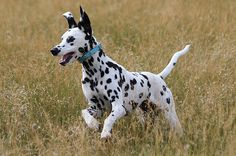 A young Dalmatian running in the meadow. Unique Jobs, Dalmatian Dogs, World Best Photos, Mans Best Friend, Animal Drawings, Best Dogs, Dogs And Puppies, Giraffe, Cute Pictures