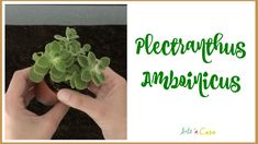 Plectranthus Amboinicus