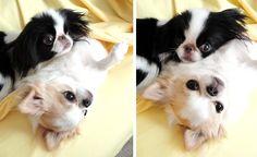 Japanese Chin and Chihuahua