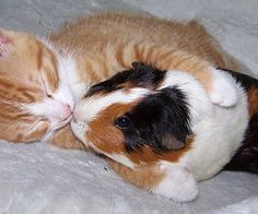 cat loves guinea pig