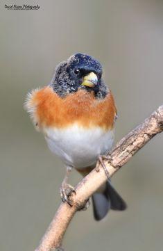 Brambling, Fringilla montifringilla (Midlands Reptiles & British Wildlife Diaries) Tags: winter david male birds nixon british fringilla brambling montifringilla