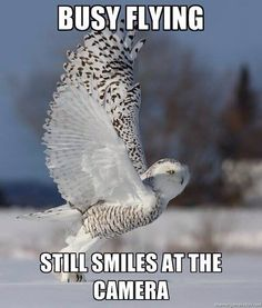 Busy flying. Still smiles at the camera - Snowy Owl