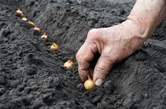 LA CIPOLLA - UN ALIMENTO CHE NON PUO' MANCARE NELLA CUCINA. Un ortaggio particolare di cui non si può fare a meno. Bianca, rossa o gialla, per la coltivazione si possono seguire quattro strade: ecco quali sono. La prima , che da maggiori soddisfazioni ma richiede... CONTINUA A LEGGERE: http://tuttosulgiardino.it/coltivare-cipolle-cipolla-proprieta-malattie-e-varieta/ #giardinaggio #orto #ortaggi #giardino #cipolla