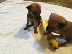 Abandoned: these two puppies were wrapped in a blanket and left on the side of the road a third one had died before they were found. Banana for scale. Saved by Grass Roots Rescue of Delaware