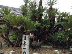 お出かけ先の画像 by 野崎 真弓さん   お出かけ先と蘇鉄と観葉植物とボタニカルスポットコンテスト2015冬とガーデニングと珍奇植物と盆栽
