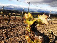 Fotos tomadas en los viñedos de nuestra bodega que muestran los primeros brotes  en las cepas.