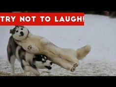 Try Not To Laugh At This Funny Dog Video Compilation | Funny Pet Videos - YouTube