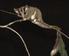Leadbeater's Possum, Australia