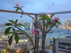 Frangipani tree in a pot - Ideal on balcony
