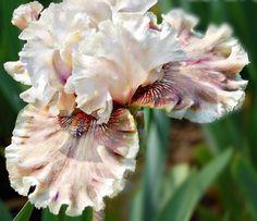 Lilly My Love Tall Bearded Iris Rhizome (1) Clean & Bleached