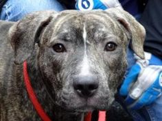 *BALBOA is an adoptable Pit Bull Terrier Dog in New York, NY. ...