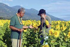 Sunflowers one day, oily stuff the next | News, Sports, Jobs - Maui News