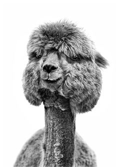Acorn the Alpaca. Fresh from having his haircut Acorns personality is perfectly captured in this fine art print. Adorn your wall with art which will make you grin!