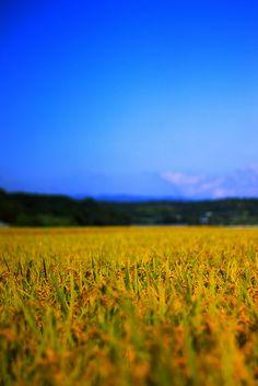 稔りの刻 -abundant rice crop