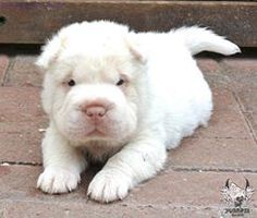 Platinum Bear Coat Shar Pei puppy.