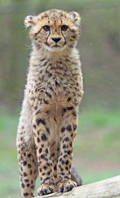 Explore amazing art and photography and share your own visual inspiration! Cheetah Cubs, Cheetah Animal, Beautiful Cats, Animals Beautiful, Beautiful Creatures, Ocelot, Big Cats, Cats And Kittens, Siamese Cats
