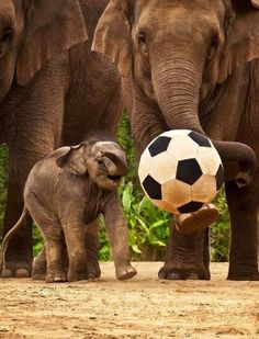Baby elephant playing with a ball