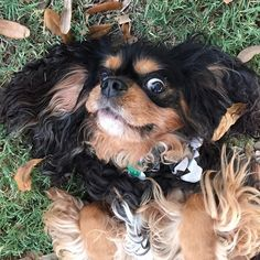 Sweet, loving Cavaliers. The best pet you can dream of.