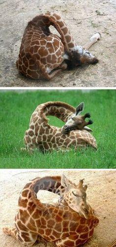 How giraffes sleep. RePinned By: *Doniele Disney* www.poppiespaintpowder.com