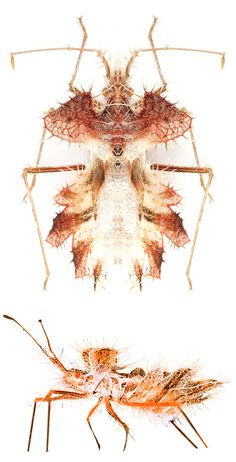 Phyllophora laciniata