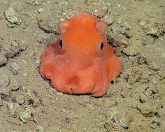 La imagen de 2013 del Instituto de Investigación del Acuario de la Bahía de Monterrey muestra al Opisthoteuthis, fotografiado 330 metros bajo de la superficie del mar en la Bahía de Monterrey