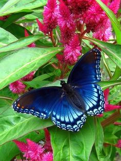 whisper a wish on a blue butterfly and it will fly up to heaven and make it come true. My butterfly tattoo is blue for Grandma Beth. Butterfly Kisses, Purple Butterfly, Butterfly Flowers, Butterfly Wings, Morpho Butterfly, Monarch Butterfly, Beautiful Bugs, Beautiful Butterflies, Beautiful Creatures