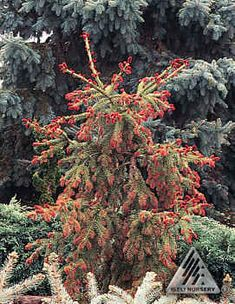 Picea abies 'Rubra Spicata' Red new growth: a very unexpected color for a spruce. For about two weeks in the spring the new growth is deep red gradually changing to red-brown then green. Typical growth habit of the species although growth rate is slightly less vigorous.    Photo by Iseli Nursery, Inc.