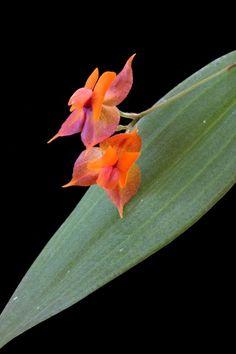 Lepanthes cascajalensis/eciliata Yellow Orchid, Wild Orchid, Butterflies, Flora, Birds, Urban, Warm, Mini, Plants