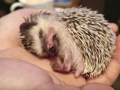 Take a tour of a hedgehog cafe in Japan!