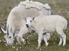 Mountain Goat (Oreamnos Americanus) Nanny and Kid in Spring, Shoshone National Forest, Wyoming, USA