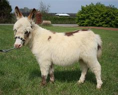 Miniature Donkey..and part llama?? Donkeys will mate with anything...those asses!!!