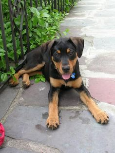 Doberman Black Lab Mix, aww this is the exact breed of my old doggy, best dog ever, miss you Ariel!!!