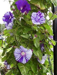 Ipomoea cairica - morning glory - 10 seeds: Amazon co uk: Garden