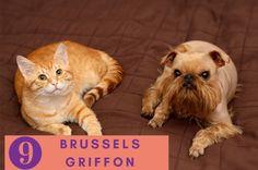 Brussels Griffon puppies breeds, Dog Breeds