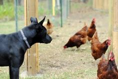 chicken guardian. easy to train dogs to become gaurdians.