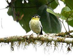 Pachyramphus versicolor (male) -NW Ecuador-6.jpgEl anambé barrado o cabezón barrado (Pachyramphus versicolor),2 3 es una especie de ave paseriforme perteneciente a la familia Tityridae. Este género ha sido emplazado tradicionalmente en la familia Cotingidae o Tyrannidae, pero serias evidencias sugieren que su mejor lugar es Tityridae,4 donde ahora la emplaza la SACC.    Se encuentra desde Costa Rica al noroeste de Ecuador y norte de Bolivia.