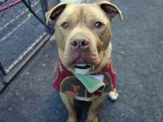 RIP!! Urgent Part 2 - Urgent Death Row Dogs  TO BE DESTROYED - 02/23/15 Manhattan Center -P  My name is RUFUS. My Animal ID # is A1027559. I am a neutered male red and white am pit bull ter and american staff mix. The shelter thinks I am about 4 YEARS old.  I came in the shelter as a STRAY on 02/09/2015 from NY 10473, owner surrender reason stated was STRAY.  https://m.facebook.com/photo.php?fbid=961588020520744&id=152876678058553&set=a.611290788883804.1073741851.152876678058553&source=43