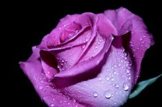 Scent of Rose by Rina Barbieri on 500px