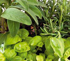 Zelené korenie Vňate a listy voľne rastúcich rastlín a liečiviek alchemilka, cesnačka, cesnak medvedí, čakanka, ďatelina, hviezdica prostredná, listy lesných jahôd, loboda, medovka, merlík, mäta, nátržník husí, nechtík, portulaka, potočnica lekárska, púpava, sedmokráska, skorocel, štiav, žihľava, angelika, materina dúška, palina, rebríček