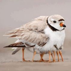 This piping plover may look like it has many legs, but it is taking its four newborns under its wing to keep them warm.
