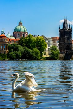 A beautiful swan in the Vltava River in Prague, Czech Republic. Check out our post on the best things to do in Prague. #prague #europe #czechrepublic