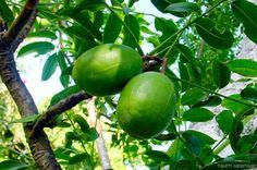 Pommier cythère, Vi tahiti, Spondias dulcis #fruit #tahiti