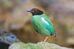 Pitta bird - Wikipedia