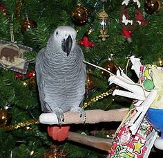 Two African grey parrots available for sale These birds are tamed, home trained, addaorable and ready for a happy family this coming christmas . contact us for mire details on the beautiful birds African Grey Parrot, Congo, Beautiful Birds, Xmas, Christmas, Happy Family, Parrots, Australia, Animals