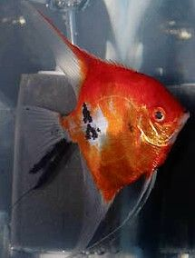Angelfish - Full Body Orange Koi - Small Tropical Freshwater Fish, Tropical Fish Aquarium, Freshwater Aquarium Fish, Beautiful Tropical Fish, Beautiful Fish, Discus Fish For Sale, Oscar Fish, Fresh Water Tank, Fish Ponds